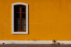 Window, Pondicherry (Marji Lang) Tags: voyage street travel people orange dog chien india color colour window lines animal yellow horizontal composition jaune french colorful warm graphic image geometry indian colonial streetphotography style peaceful sunny scene amarillo simplicity frame resting colourful framing minimalism simple rue tones fentre tamil franais couleur cadre tamilnadu ocre pondicherry southindia streetshot composed pondy southernindia warmtones pondi travelphotography republicofindia frenchconsulate comptoir pondichry feraldog frenchcolony ef247028l indiansubcontinent puducherry indedusud  consulatdefrance canoneos5dmarkii quartierfranais bhrat consulatgnraldefrance frencharea  marjilang