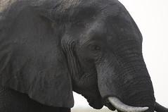 20120925_162358_Nikon (kchessa67) Tags: botswana elefante d300 chobenationalpark nikkor70300mmf4556gaf
