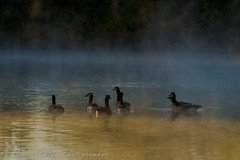 Geese in the Mist (Arizphotodude) Tags: arizona bird nature water birds animal animals wings nikon wildlife az gilbert canadiangeese nikkor avian 2012 ariz gilbertaz gilbertriparianpreserve riparianpreserve nikond7000 riparianranchatwaterpreserve brucewolke gilbertmeetup