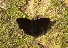 The Siamese Black Prince - เจ้าชายดำขอบปีกเรียบ