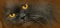 magical cat eyes (FotoArtCircle) Tags: animals cat tiere cateyes katzen panker katzenaugen katzenportrt blinkagain richardvonlenzano rememberthatmomentlevel1 rememberthatmomentlevel2 rememberthatmomentlevel3 magischekatzenaugen magicalcateyes
