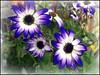 Blue and White ... (** Janets Photos **) Tags: uk flowers blue white yorkshire hull masterphotos artisticflowers takenwithlove plantsflora mindigtopponalwaysontop lovelyflickr thegoldenachievement goldenachievement
