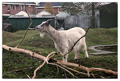 Chewing goat (leo.roos) Tags: goat rangefinder kata braun pettingzoo childrenszoo rf kinderboerderij lenses nex childrensfarm m39 paxette pettingfarm darosa staeble willemshoeve nex5 westerhonk staeblekata4528 leoroos duinboerderij