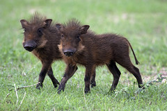 December - A time for babies! (lyn.f) Tags: baby botswana chobe warthog phacochoerusafricanus