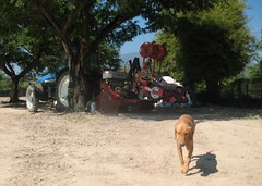 Tractor, planter, Red Bone Hound (rodeochiangmai) Tags: dogs thailand tractors farmmachinery newhollandtractors