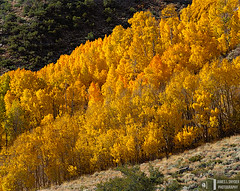 Band of Golden Aspens (James L. Snyder) Tags: california above morning autumn trees usa foothills abstract fall texture colors leaves yellow horizontal forest gold golden october colorful warm natural bright vibrant stripe band rocky peak dry sunny canyon brush fresh sierra diagonal foliage nationalforest mount boulders crisp highdesert aspens layers rough deciduous hillside sierranevada refreshing bushes shrubs scrub 2009 brilliant arid slope rugged gleaming steep sagebrush quaking parkerpeak sidelighting chaparral coarse easternsierra inyonationalforest grantlake monocounty populustremuloides mtlewis junelakelooproad ca158