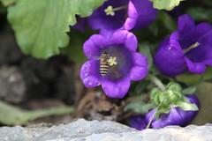 IMG_0797 (sclereid0309) Tags: bee honey honeybee  pollination