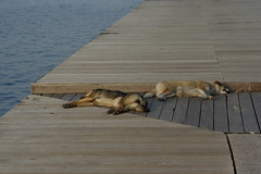 (giovdim) Tags: dogs greece tired thessaloniki thelittledoglaughed giovdim speepingbythesea