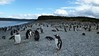 Penguins galore, Isla Martillo, Argentina