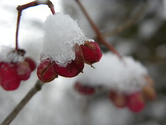 DSCN7868 (sarahamina) Tags: schnee winter red white snow rot blanco rouge austria sterreich rojo berry berries nieve neve invierno blanche beeren inverno rosso beere weiss bianco obersterreich autriche laal lal upperaustria weis innviertel mettmach sarahamina