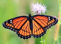 viceroy at Cardinal Marsh IA 854A3009 (lreis_naturalist) Tags: county butterfly cardinal reis iowa larry marsh viceroy winneshiek
