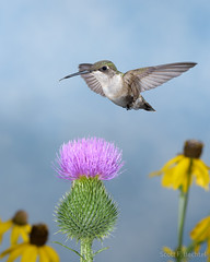 Ruby-throated Hummingbird (2016-07-24 8159) (bechtelsf) Tags: nikon d810 nikon80400mm nature hummingbird bird animal wildlife flower ohio rubythroated outdoors flying inflight