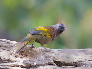 Chestnut-crowned Laughingthrush _ 百花嶺-06 ☺☺☺