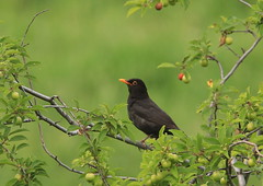 Turdus merula-Eurasian Blackbird (Aviantic) Tags: turdusmerula eurasianblackbird