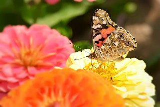 Painted Lady summer
