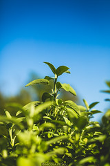 Deep colors (Nicola Pezzoli) Tags: sage salvia nature plant pianta leffe val gandino blue sky bergamo