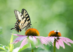 Two pollinators:  butterfly and bee (hickamorehackamore) Tags: 2016 ct coneflower connecticut easterntigerswallowtail echinacea haddam nwf nikon swallowtail tigerswallowtail backyard butterfly certified habitat native summer wildlife