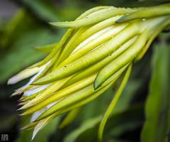 Tropical Flower, Haleiwa (lycheng99) Tags: tropical flowers flower yellow haleiwa hawaii oahu honolulu green rain wet macro macrophotography plants plant