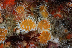 Plymouth-201605-HandDeeps2-Anemone16 (Tony J Gilbert) Tags: plymouth marine macro underwater diving nikond300 handdeeps jameseaganlayne hilseapointrocks scylla ceeking wwwdivingplymouthcom