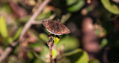 Butterfly Inceville Los Liones Canyon  166 (pekabo90401) Tags: inceville idneeded butterflies duskywings losliones loslionescanyon pekabo90401 lightroom funerealduskywing