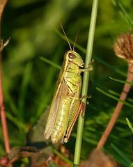 Panasonic FZ1000, Grasshopper, Botanical Gardens, Montral, 3 September 2016 (3) (proacguy1) Tags: panasonicfz1000 grasshopper botanicalgardens montral 3september2016