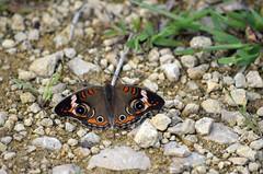 Common Buckeye (pchgorman) Tags: commonbuckeye junoniacoenia taxonomy:binomial=junoniacoenia junonia sheaprairie nymphalinae iowacounty wisconsin insects butterflies prairies august