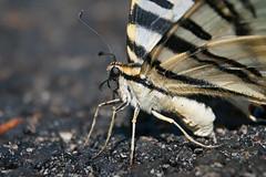 Deranged (Luis-Gaspar) Tags: animal insecto insect butterfly borboleta borboletazebra swallowtail southernscarceswallowtail iphiclidesfeisthamelii hirundinea lepidoptera papilionidae portugal oeiras nikon d60 18105 f8 1640 iso400