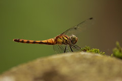 IMG_7239 (Nekogao) Tags:        japan nikko tochigi tochigiprefecture nikkonationalpark okunikko summer    insect dragonfly