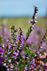 Heather - Isle of Skye (mpw1421) Tags: nikon d60 scotland scottishhighlands isleofskye unlimitedphotos heather flowers