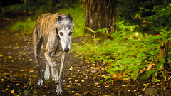 _D7K4972.jpg (markiisi) Tags: strmberginpuisto dogpark pitjnmki pitsku latesummer galgoespaol guiro galga koirapuisto cordelia julius