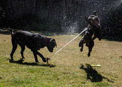 """Water Fight:  """"Ahhhh! I'm hit!! Dog down!"""" (maytag97) Tags: maytag97 dog dogs blacklab sprinkler lawnsprinkler waterspray playful action"""
