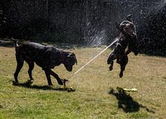 "Water Fight:  ""Ahhhh! I'm hit!! Dog down!"" (maytag97) Tags: maytag97 dog dogs blacklab sprinkler lawnsprinkler waterspray playful action nikon d750"