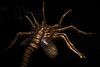 Facehugger (\Nicolas/) Tags: alien aliens facehugger spider sciencefiction horror movie hans ruedi giger film space fear