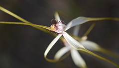 She's a Lady... (setoboonhong) Tags: nature outdoor wild flowers spider orchid caladenia macro depth field colours bokeh wireless hill park perth western australia elegant petals lady like song shes tom jones