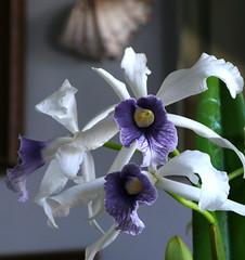 Cattleya purpurata var. werkhauseri #2 in the living room 7-16 (nolehace) Tags: cattleya purpurata var werkhauseri 2 living room 716 species orchid summer nolehace sanfrancisco fz1000 flower plant bloom