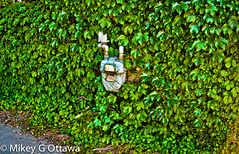 Gas Meter Greenery - Ottawa 08 16 (Mikey G Ottawa) Tags: mikeygottawa canada ontario ottawa street summer colour color couleur farbe edit lightroom meter gasmeter gas hedge green grun vert