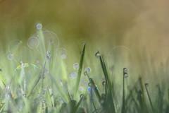 In the Morning (*Capture the Moment*) Tags: 2016 backlight bokeh droplets drops farbdominanz gegenlicht gras grass sonynex7 sun trioplan28100neo tropfen green grn
