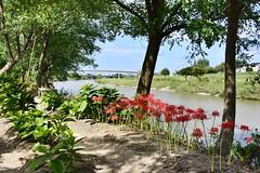 Red Spider Lily ,Japan. (marcelo.nakazaki) Tags: rio river asia aichiken nagoya postcard japon japan japao arvores tree spiderlily blossom redspiderlily lirioaranha ponte arquitetura casas house
