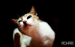 Blue Eyes (Rohan2021) Tags: cat canon 6d dark eyes 12l lens light