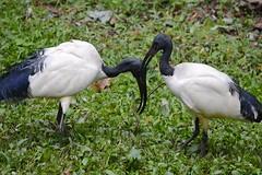 Sacred Ibis  (Lim SK) Tags: sacred ibis