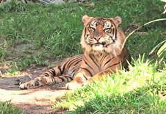 Teddy (Sandy's Looking Back Gallery) Tags: sumatrantiger tiger teddy