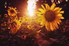 Sunflower (Explored) (PHTMatrix) Tags: nature sunset landscape flower warm color