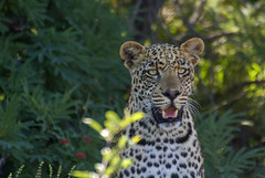 Leopard (Panthera Pardus) (Kev Gregory (General)) Tags: leopard panthera pardus sighting wild creature game drive big cats genus family felidae subsaharan africa marataba private reserve marakele national park thabazimbi south kev gregory canon 7d sigma 50500 50 500 bigma zoom lens