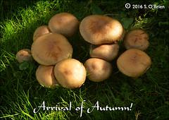 Arrival of Autumn 2016 (mazurka666) Tags: fungi senobrien nikond3200 suirvalleyphotographicgroup ire ireland