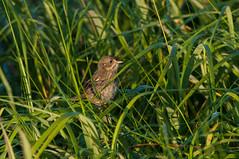 Seaside Sparrow (martytdx) Tags: august brigantine forsythenwr nj birding birds passerine sparrow seasidesparrow ammodramusmaritimus ammodramus emberizidae atlanticsubspecies ammodramusmaritimusmaritimus ammaritimus morninglight lifelist