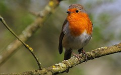 Robin 210416 (6) (Richard Collier - Wildlife and Travel Photography) Tags: wildlife naturalhistory british britishbirds birds robin