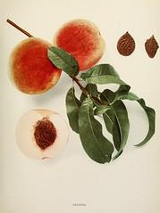 n452_w1150 (BioDivLibrary) Tags: andrewjackson 18151852 downingaj fruitculture newyorkstate portraits prunuspersica rosaceae newyorkbotanicalgardenluesthertmertzlibrary bhl:page=6593836 dc:identifier=httpbiodiversitylibraryorgpage6593836 stevenspeach