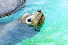 California Sea Lion of Ueno Zoo :  (Dakiny) Tags: 2016 autmn september japan tokyo taito ueno outdoor nature park uenopark zoo uenozoo animal mammal seacreature sealion californiasealion nikon d7000 sigma apo 70200mm f28 ex hsm apo70200mmf28exhsm sigmaapo70200mmf28exhsm nikonclubit