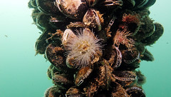Sea anemone (heartypanther) Tags: seaanemone