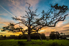 'Standing Strong' - Vaenol Estate (aronaled) Tags: tree sunset old oak silhouette colours sky wideangle country field sheep northwales wales cymru gogleddcymru bangor vaenol